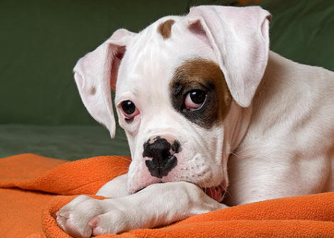 Don't You Believe It Common Myths About Boxers